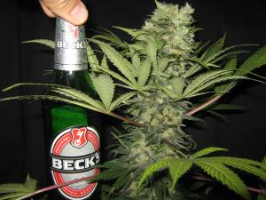 Bud The Size Of A Beer Bottle