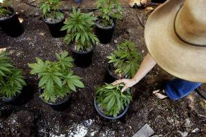 Pot plants in the backyard of a Northern California home. It is not clear how much the federal government's policy shift will affect marijuana operations in the state. (Genaro Molina / Los Angeles Times / May 15, 2012)
