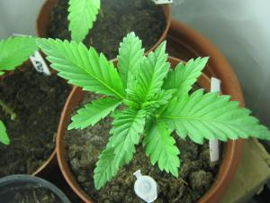 100 watt cfl grow update 2 what should a marijuana plant look like at 2 weeks old cannabis. Black Bedroom Furniture Sets. Home Design Ideas
