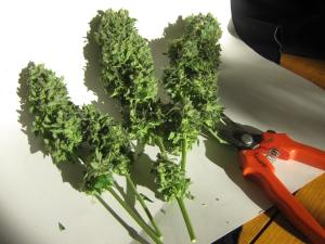 Critical + 100 Watt CFL grow buds - fully trimmed.