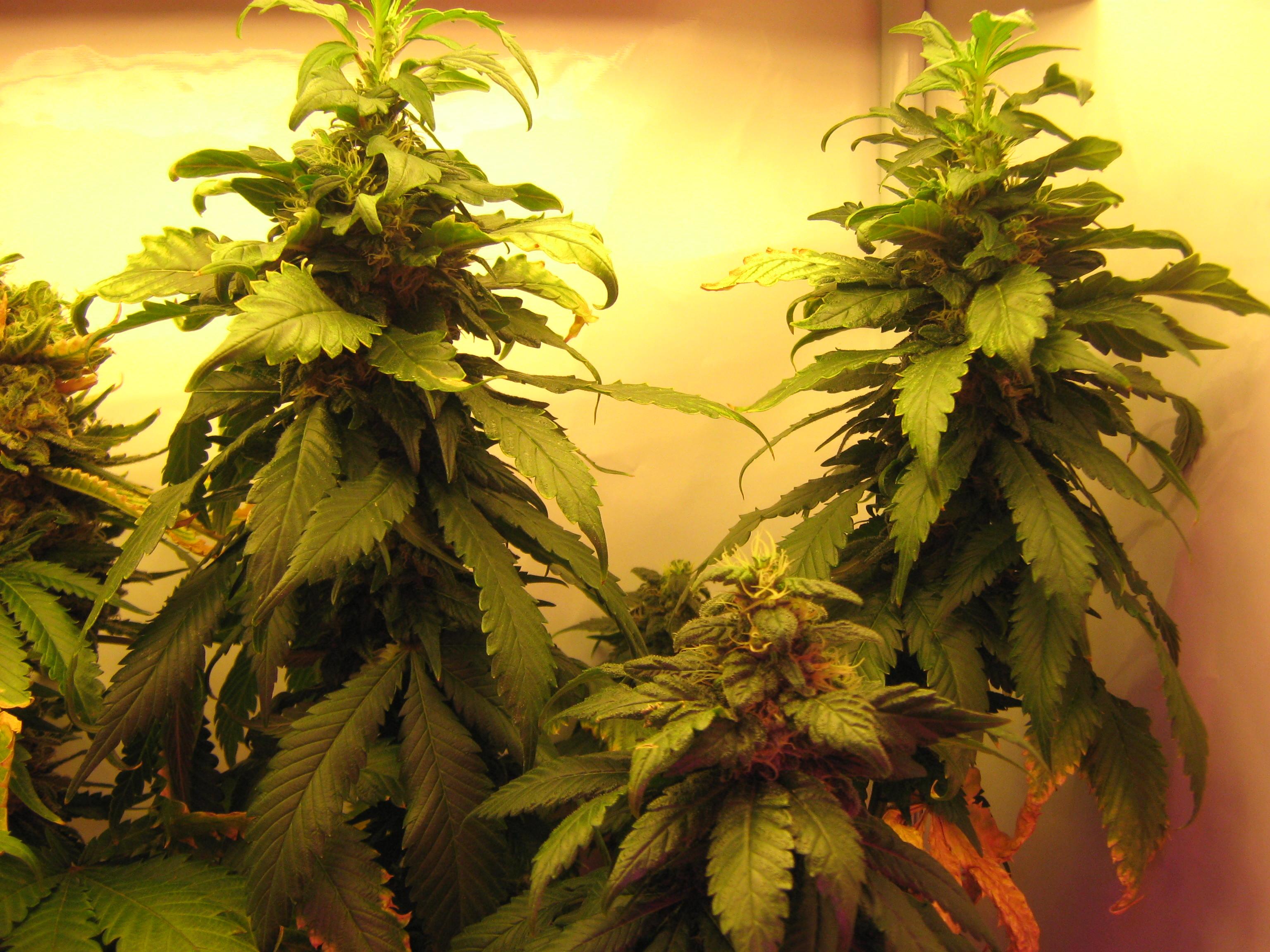 4 Weeks Marijuana Flowering Cannabis Growing