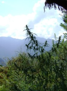 wild_female_cannabis_india